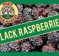 Pick Your Own Black Raspberries