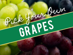 Pick Your Own Grapes