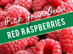 Pick Your Own Red Raspberries