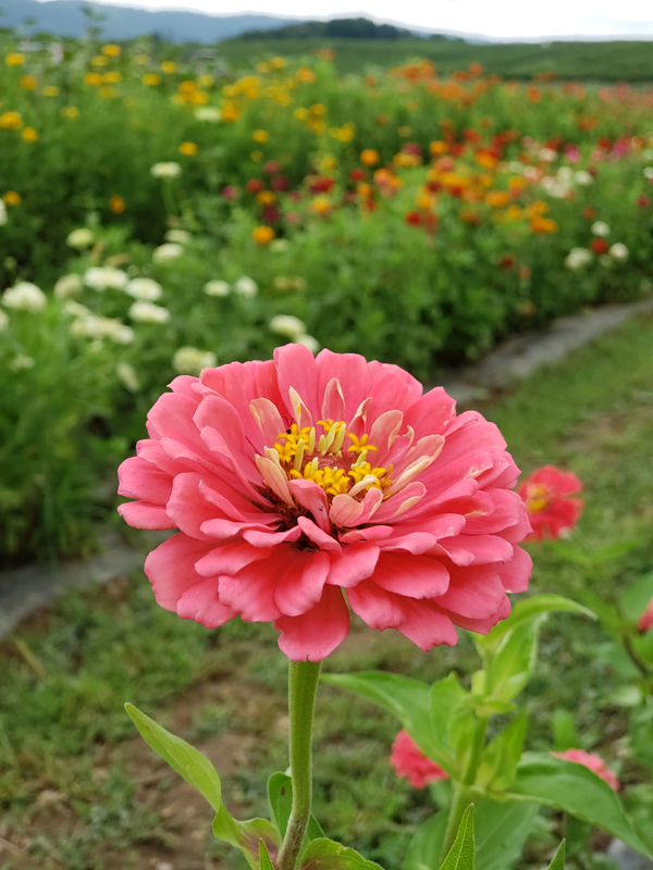 pink zinnias - orrs pick your own flowers