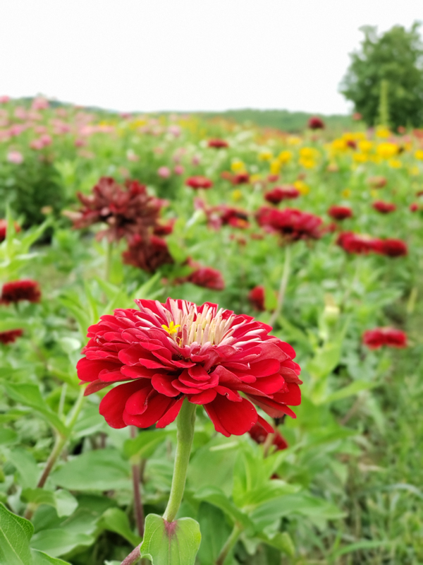 red zinnias - orrs pick your own flowers