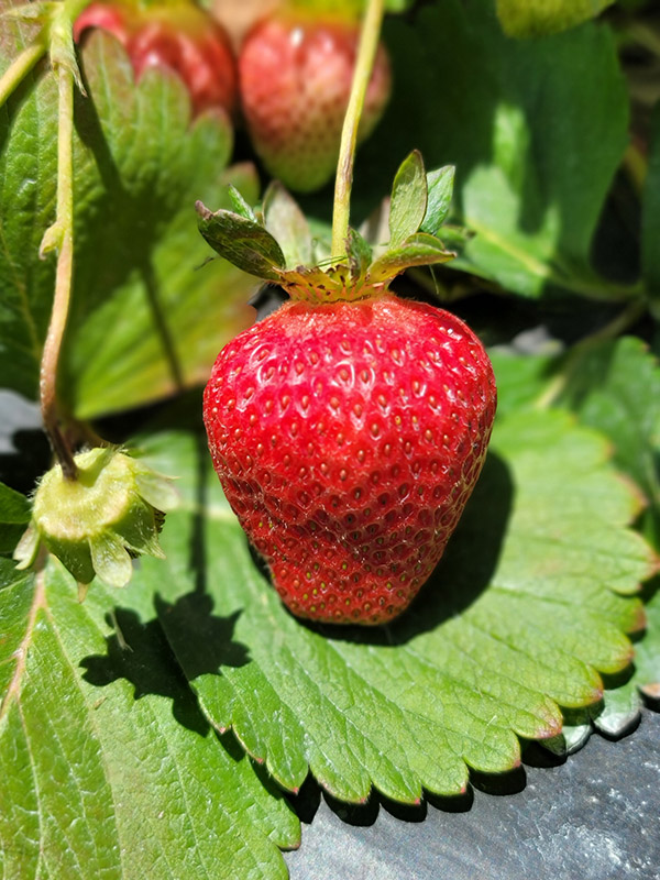Orrs Strawberries