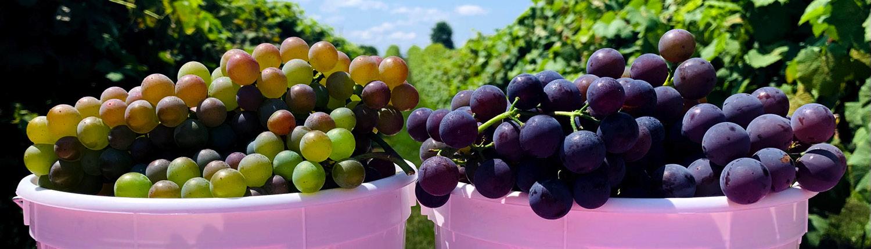 PYO Grapes